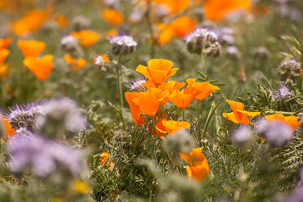 Poppies and Lacy Phacelia, California Poppy Preserve by Michael Katz